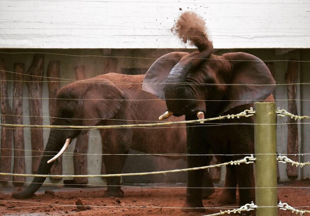 Looduses püherdavad elevandid parasiitide peletamiseks ja naha niiskuse säilitamiseks mudas ja savis. Loomaaiad võimaldavad loomadele neid liigiomaseid tegevusi ka tehistingimustes – Tallinna loomaaia elevandid Fien, Draay ning Carl püherdavad suvel õues nii liivas, savis kui turbavannis, talvel saavad loomad nahahooldusega tegeleda ka siseruumides. Igal laupäeval kuni 31. märtsini näidatakse paksunahaliste majas elevantide pesu ja spaaprotseduure, mida kommenteerivad loomaaia töötajad.