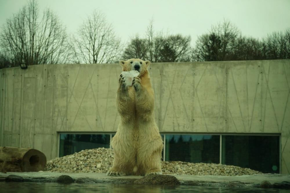 Värske koostööna Tallinna Loomaaiaga on fotol seekord jääkarupoiss Aron rahvusvahelisel jääkarupäeval (27.02). Jääkaru armsa välimuse taga on peidus polaaralade karmide tingimustega kohastunud tippkiskja, kes võib toiduotsingutel puhkamata ujuda üle 100 kilomeetri. Kliima soojenemise, toidubaasi muutumise ja arktiliste jääväljade sulamise tõttu on jääkarud sattunud raskesse olukorda. Arktika mandrijää kiire kahanemise jätkudes võib käesoleva sajandi keskpaigaks kaduda 2/3 jääkarude populatsioonist.