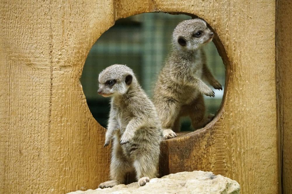 Surikaate ohustavad looduses kiskjad, ekstreemsed ilmaolud ja ka teised liigikaaslased. Ohtude vältimiseks seavad surikaatide rühmad oma tegevuste valveks üles vahte, kes tagajalgadel tähelepanelikult ümbrust uurivad ja teistele märku annavad. Sellega võidetakse väärtuslikku aega ning hädaohule jõutakse reageerida enne kui see ülemäära kahju teeb.