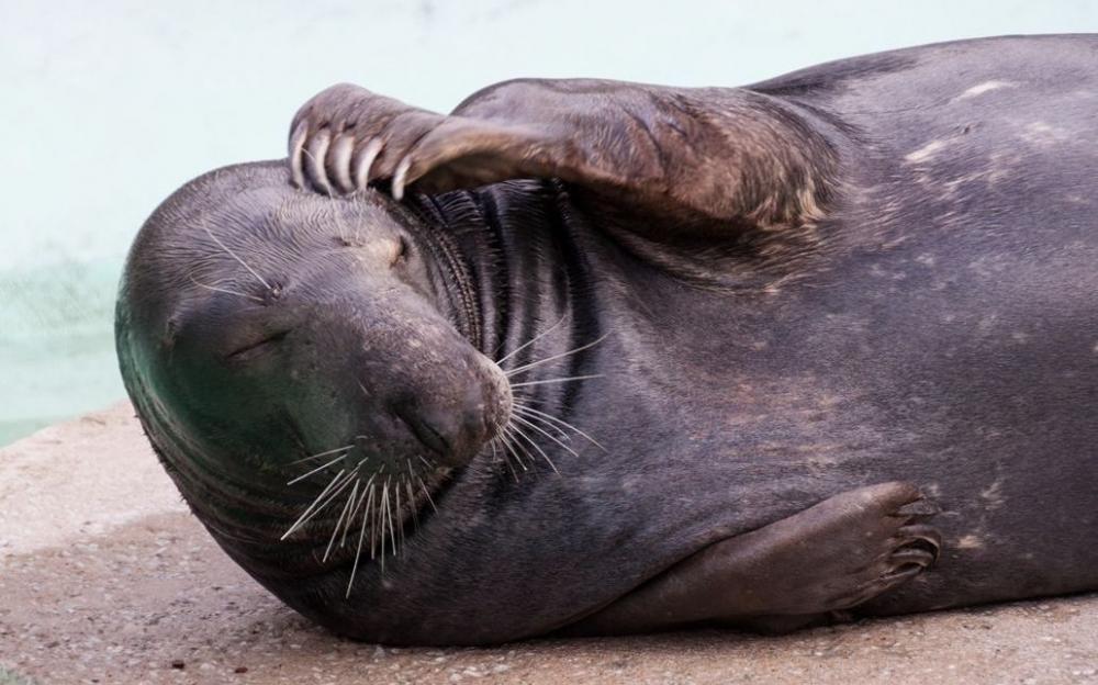 Täna, 22. märtsil tähistatakse Tallinna loomaaias rahvusvahelist hülgepäeva. Läänemere suurimat imetajat - kuni 300 kg kaaluvat hallhüljest ohustab eelkõige mere reostumine. Kaladest ja mereselgrootututest toituvasse hülgesse luhjuvad mere sattunud keskkonnamürgid, mis mõjutavad eeskätt looma viljakust ja elujõudu. Suureks ohuallikaks on ka prügireostus ning võrkudesse ja mõrdadesse takerdumine. Pildil 17-aastane hallhüljes Lätipoiss