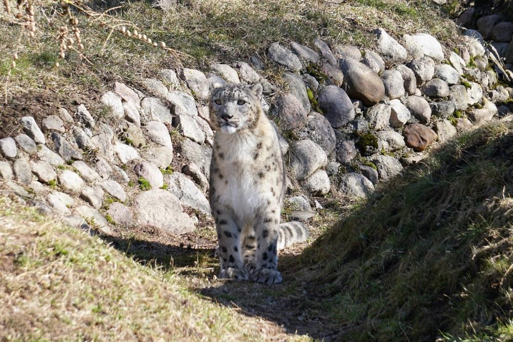 Pildil suur ja majesteetlik lumeleopard Otto III, esimest korda külastajate ees alpinaariumis. Lumeleopardid ehk irbised on kõrgmäestikus elamiseks kohastunud kaslased, kelle arvukus looduses on 5000–6000 isendi ringis. Elupaikade killustumine, saakloomade arvukuse vähenemine, salaküttimine ja häirimine on teinud temast eriti ohustatud liigi.