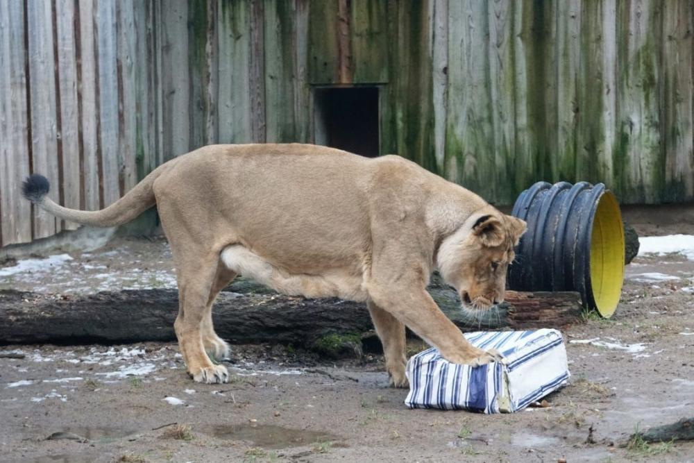 """Fotol aasia lõvi """"mänguasjaga"""". Loomaaia loomad ei pea otsima toitu, põgenema kiskjate eest ega kaitsma oma territooriumi. Ilma tegevuseta, mis sunniks loomi kasutama oma meeli, võib tehistingimustes elavatel loomadel """"igav hakata"""", mis võib põhjustada käitumishäireid. Keskkonna rikastamise läbi muudetakse loomade elukeskkonda selliselt, et see innustaks neid tegema valikuid, kutsuks esile liigiomast loomulikku käitumist, esitaks vaimseid väljakutseid, julgustaks loomi rohkem liikuma ning suurendaks seeläbi nende üldist heaolu. Igal aprilli pühapäeval alates kella 13st saab Tallinna loomaaia aasia lõvide ja jääkarude ekspositsiooni juures näha loomade avalikku toitmist ja keskkonna rikastamist."""
