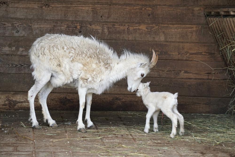 Dalli lumelammas tallega. Kevadine sündimiste aeg võimaldab kõigil, kel huvi, sünniimest loomaaias vahetult osa saada. Emadepäeva keskpäeval otsustas Dalli lumelammas otse külastajate ees murul tallekesega maha saada. Tugev ja terve tallepoiss ajas end ema sõralöökidest utsitatuna õige pea jalgadele, küünitas imema ja tegi seejärel tutvust ülejäänud karja liikmetega.