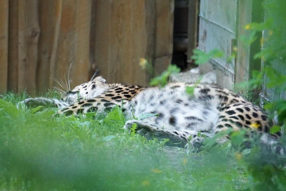 Amuuri leopardi – maailma enimohustatud kaslast – elab looduses kõigest 70-80 isendit. Juuni algusest saadik on Tallinna loomaaia külastajate ees taas 15-aastane amuuri leoapard Darla. Loomaaiasõpradele palju rõõmu valmistanud ning maailmale 12 leopardikutsikat kinkinud loom patseerib amuuri tiigri endises ja nüüdseks leopardile kohasemaks muudetud aedikus.
