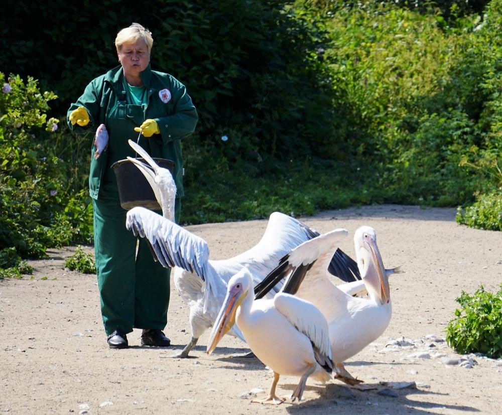 Läbi terve juulikuu saab igal teisipäeval ja neljapäeval jälgida loomaaia linnutiikidel pelikanide kommenteeritud toitmist. Need suured sukeldumisvõimetud linnud püüavad saaki enamasti ühiselt, ajades tiibu vastu vett pekstes kalu kalda poole. Pelikani nokal on suur kurgupaun, kuhu mahub ligi 13 liitrit vett ning kuhu on hea kühveldada kalu, koorikloomi, kahepaikseid ja isegi väiksemaid linde.